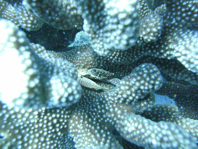 Crab hiding in Antler Coral